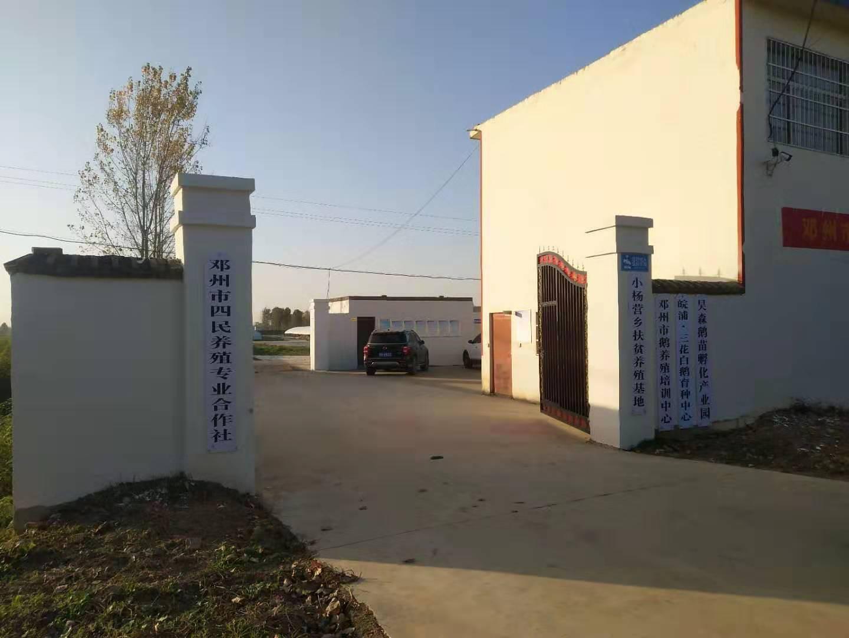 河南脱温鹅苗养殖厂家基地展示