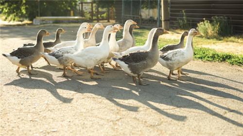 一年中有很多季节,你知道什么时候是特别适合养鹅的么