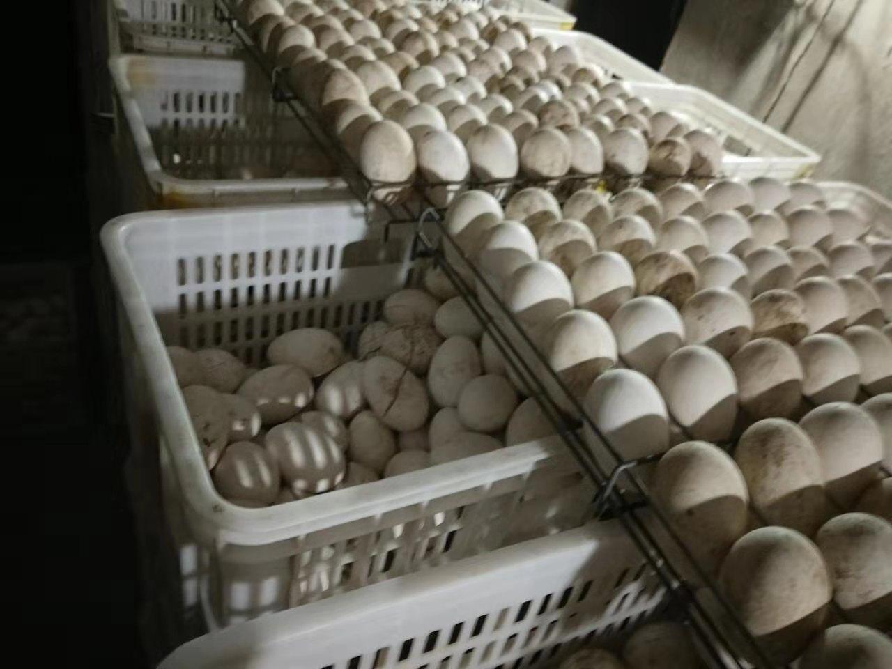 大自然就是那么神奇,想不想知道种蛋是如何孵化成鹅苗的?