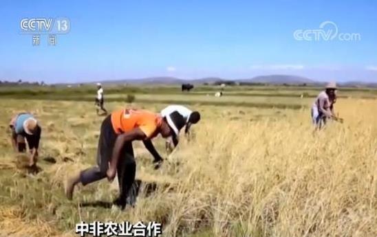 中国在非洲的杂交水稻产量创历史高于当地大米产量