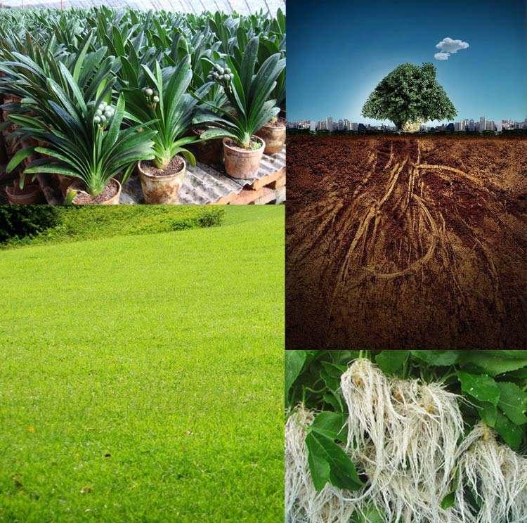 卓雄为您普及四川生根壮苗肥的功效、适用作物、使用方法