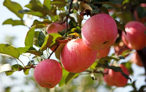 水溶肥定制厂家讲浅谈苹果树施肥应该注意的问题: