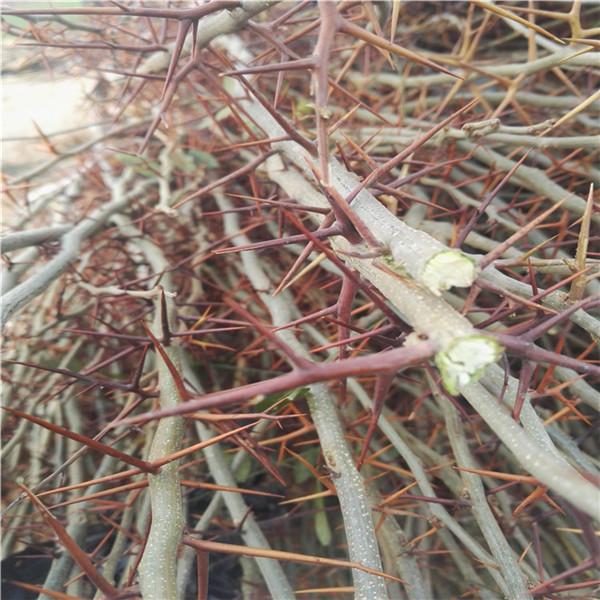 15公分皂角树苗