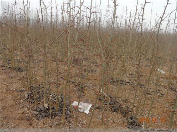 河南皂角刺种植基地