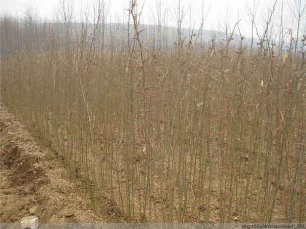皂角刺种植基地