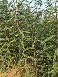 2.3公分皂角树苗
