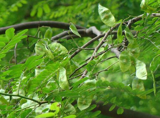 多功能乡土生态经济树种—皂荚的栽培管理技术