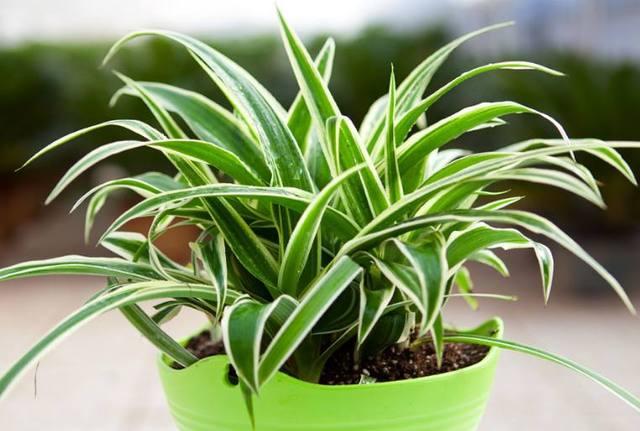 除甲醛植物可靠吗?哪些植物可以除甲醛?跟着小编来了解下