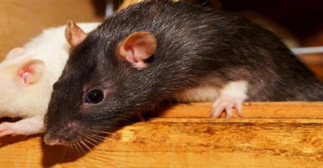 老鼠的繁殖能力有多强?银川灭鼠公司带你认识秋季灭鼠的必要性。