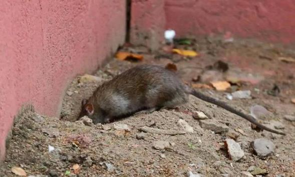 有老鼠怎么办?灭鼠为什么要找专业灭鼠公司
