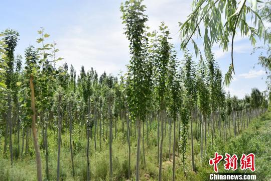 为了抵御风沙的入侵,甘肃省酒泉市瓜州县从2002年起开启封滩育林工程,陆续建起了护城防护林带,建立管护机制。图为郁郁葱葱的二十公里生态长廊。(资料图) 钟欣 摄