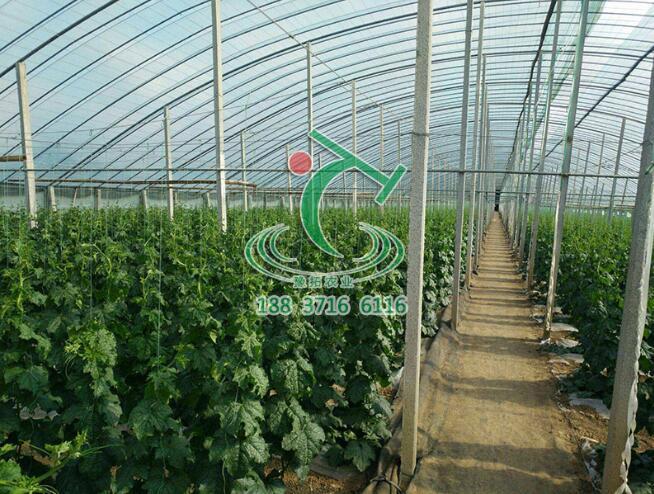 温室大棚丝瓜的种植技术,让你的丝瓜长式很好