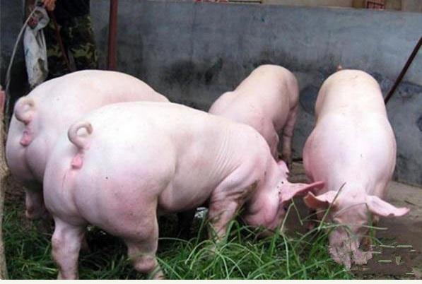 """""""缺豬""""的形勢下,如何高質量做好生豬養殖"""