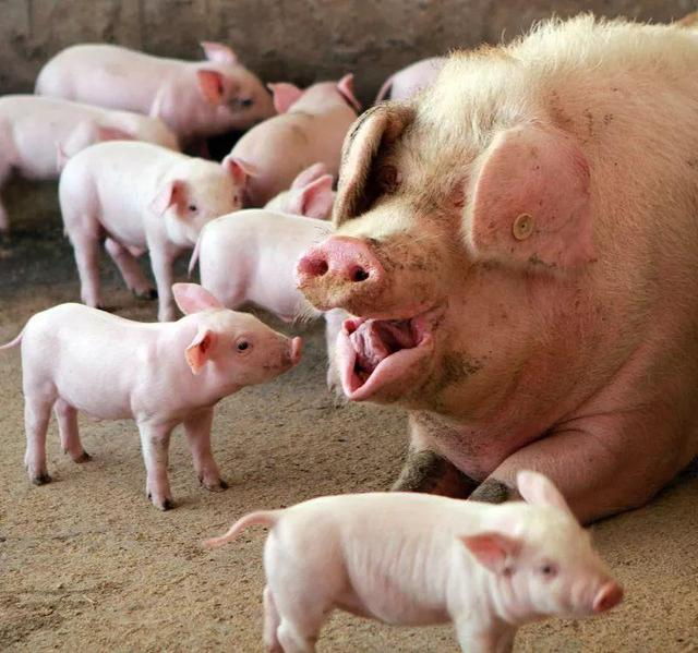 貴州生豬屠宰帶你了解-豬屠宰需要檢疫什么