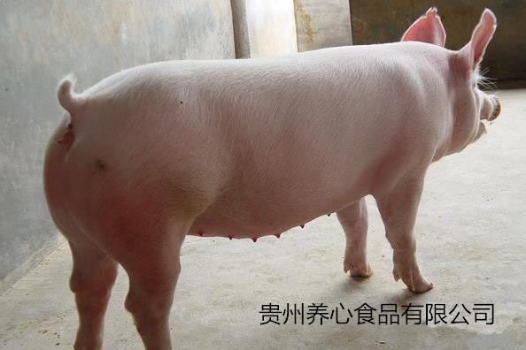 生豬屠宰前需要注意哪些事項?屠宰前沖溫水澡的緣由是什么?