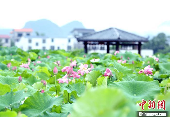 """""""中国玉藕之乡""""广西柳江""""连""""出好吃好看好玩的藕产业链"""