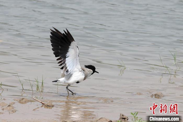 """世界近危鸟类""""距翅麦鸡""""亮相珠海湿地"""