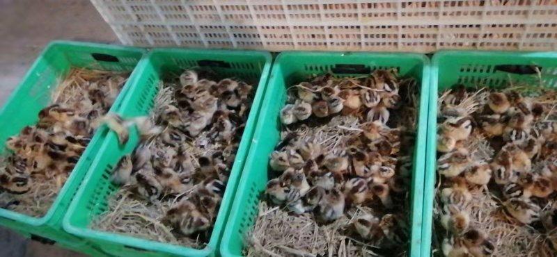 四川土鸡苗养殖中心