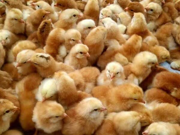 建成养殖介绍四川九斤黄鸡苗养殖技术,快来了解