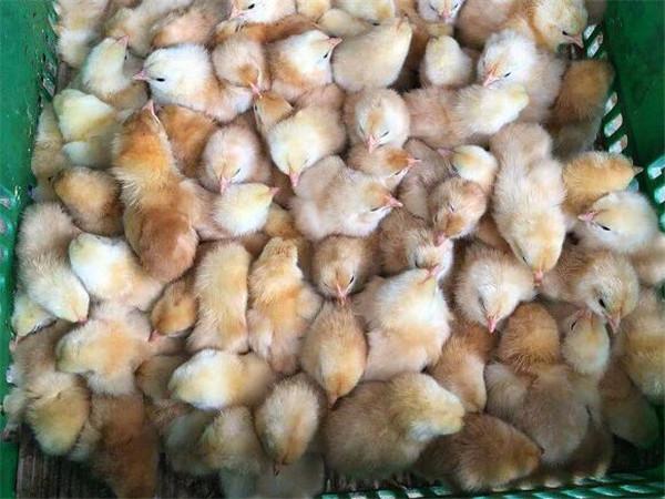 四川鸡苗厂家浅谈夏秋换季时鸡舍的环境管理
