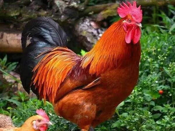 青脚麻鸡的养殖利润是多少?2020年养殖青脚麻鸡能赚钱吗?