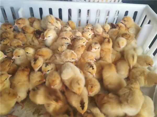 四川土鸡苗孵化场分享春季常见的雏鸡疾病防治方案