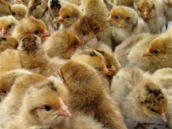 关于土鸡养殖要注意的放养密度事项,你都了解到了吗?