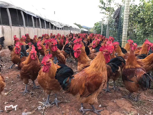 四川鸡苗养殖场如何做才能防止疾病的发生,做到这7点就行了