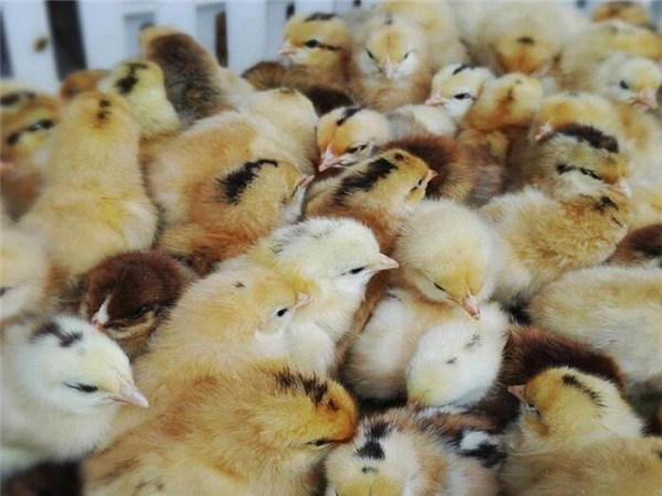 春季四川鸡苗养殖管理需要注意哪些问题