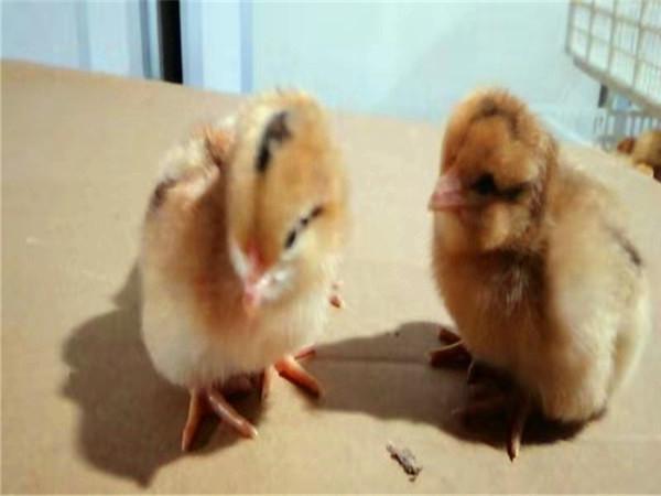 土鸡苗孵化场分享一种鉴别雌雄雏鸡的简单方法: