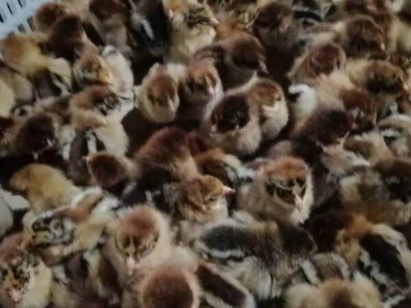 广汉乐航土鸡苗孵化场在春季育雏时需要注意哪些事项。