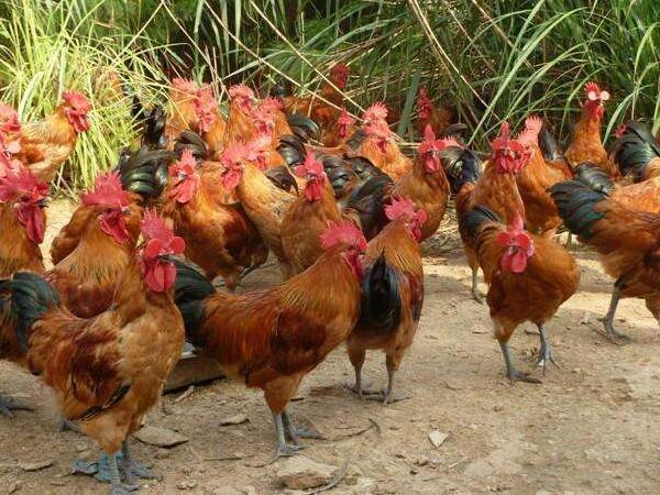 土鸡孵化场介绍全国各地优良土鸡品种大全