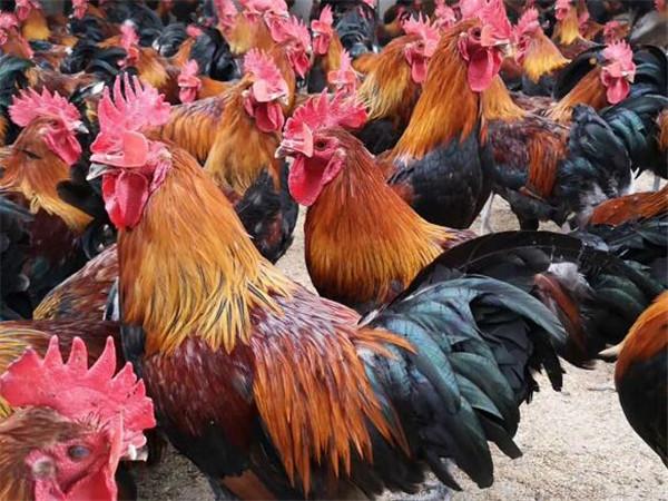 土鸡养殖不难,养殖户愁的是销售,怎么办?4个销售方法不妨试试