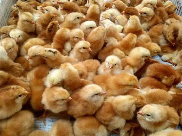 在选择优质成都土鸡苗养殖的时候能增加后期收益。