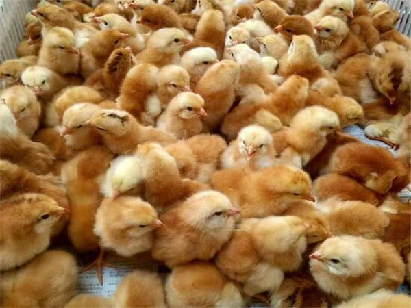 土鸡苗养殖