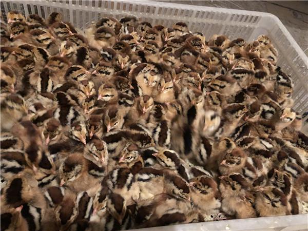 土鸡苗在不同的生长阶段合理的饲料配置和管理