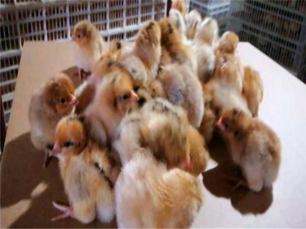土鸡苗孵化场