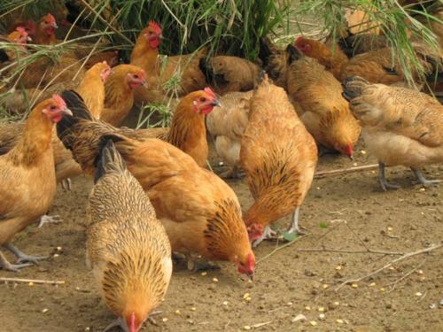 广汉乐航养殖浅谈土鸡苗养殖怎样预防疾病的产生