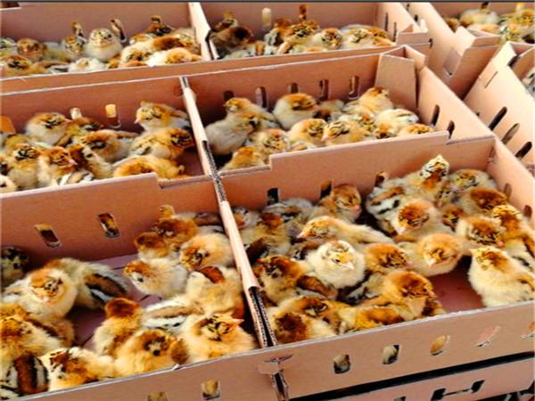 土鸡苗孵化场是如何防治土鸡传染性鼻炎