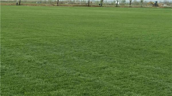 绿之茵混播草坪基地