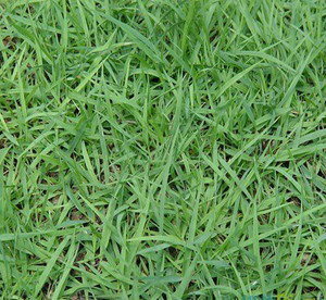 宝鸡细叶结缕草种植