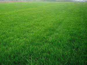 混播草坪锈病发生规律和防治技术大家了解多少了?
