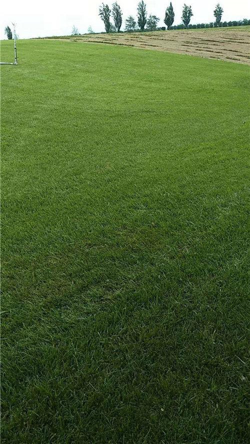 宝鸡混播草坪