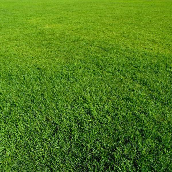 百慕大草坪春季常见杂草有哪些?如何高效防除?