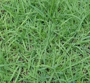 宝鸡细叶结缕草
