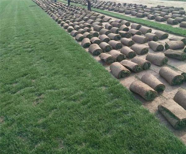 绿之茵百慕大草坪修剪