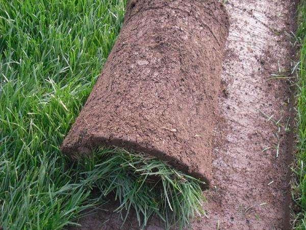 草地早熟禾是怎样养护的?有哪些相关的方法!