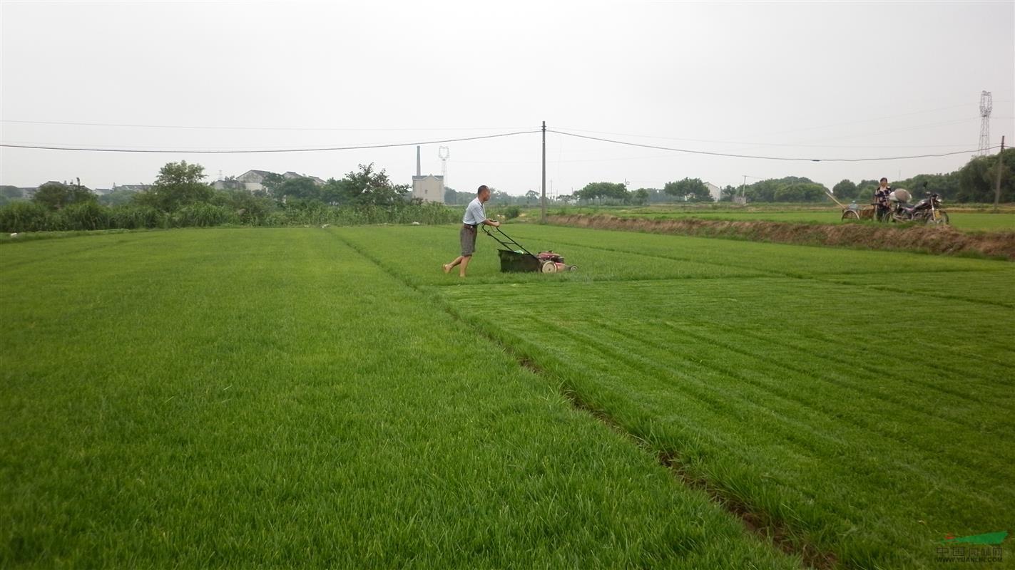 高羊茅:种植草坪,普通人也非常容易上手!
