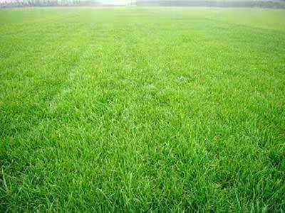 不容错过的优质早熟禾草坪的小知识!
