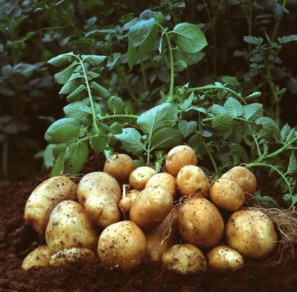 内蒙古马铃薯